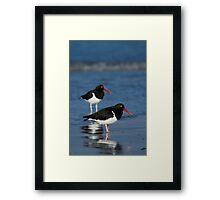 Magellanic Oystercatchers Framed Print