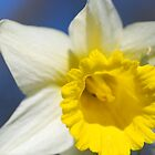 Narcissus in the spring by Mats Janné