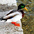 Mallard Duck by ©The Creative  Minds