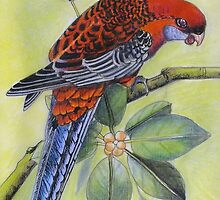 Crimson Rosella   Art piece by Sandra  Sengstock-Miller