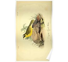 James Audubon Vector Rebuild - The Birds of America - From Drawings Made in the United States and Their Territories V 1-7 1840 - Delefield's Ground Warbler Poster