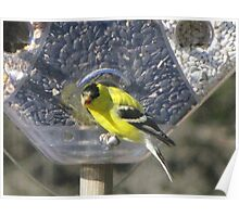 Hungry Little GoldFinch Poster