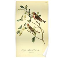 James Audubon Vector Rebuild - The Birds of America - From Drawings Made in the United States and Their Territories V 1-7 1840 - Lesser Redpoll Linnet Poster