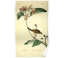 James Audubon Vector Rebuild - The Birds of America - From Drawings Made in the United States and Their Territories V 1-7 1840 - Bachman's Pinewood Finch Poster