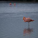 Flamingos - Ecuador by Lisa Germany