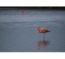 Flamingos - Ecuador Photographic Print