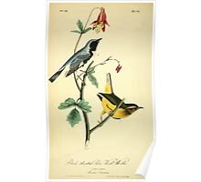 James Audubon Vector Rebuild - The Birds of America - From Drawings Made in the United States and Their Territories V 1-7 1840 - Black Throated Blue Wood Warbler Poster