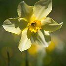 Daffodil by Victoria Ashman