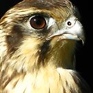 Brown Falcon (Falco berigora) by Marilyn Harris