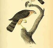 James Audubon Vector Rebuild - The Birds of America - From Drawings Made in the United States and Their Territories V 1-7 1840 - Sharp Shinned Hawk by wetdryvac