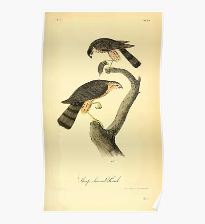 James Audubon Vector Rebuild - The Birds of America - From Drawings Made in the United States and Their Territories V 1-7 1840 - Sharp Shinned Hawk Poster