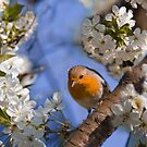 Robin in a sour cherry tree by Delfino
