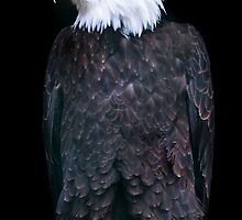 Bald Eagle (lat. Haliaeetus leucocephalus) by peterwey
