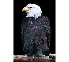 Bald Eagle (lat. Haliaeetus leucocephalus) Photographic Print