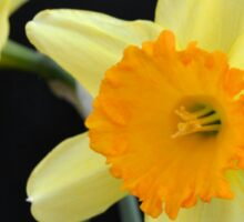 A Pair of Daffodils Sticker