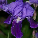 Purple Beauty - Iris by Ruth Lambert