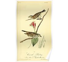 James Audubon Vector Rebuild - The Birds of America - From Drawings Made in the United States and Their Territories V 1-7 1840 - Savannah Bunting Poster