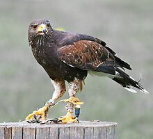 Captive golden eagle by peterwey