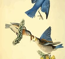 James Audubon Vector Rebuild - The Birds of America - From Drawings Made in the United States and Their Territories V 1-7 1840 - Common Blue Bird by wetdryvac