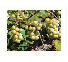 Grapes At The Winery Art Print