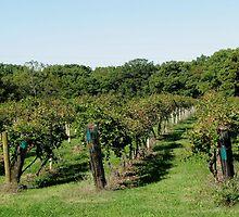 The Grape Field by Linda Miller Gesualdo