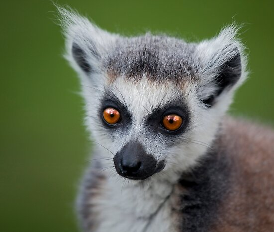 Bright Eyes (Ring-Tailed Lemur) by Krys Bailey