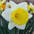 Daffodil in the Garden by Kathleen Brant