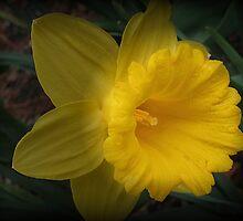 Spotlight on a Daffodil by Monnie Ryan