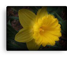 Spotlight on a Daffodil Canvas Print