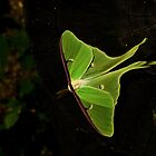Luna Moth by RonSparks