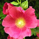 A deep pink hollyhock (Alcea Rosea) by Philip Mitchell