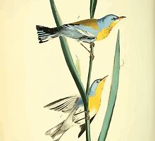 James Audubon Vector Rebuild - The Birds of America - From Drawings Made in the United States and Their Territories V 1-7 1840 - Blue Yellow Backed Wood Warbler by wetdryvac
