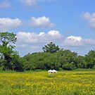 White horse among the buttercups in a summer meadow, southern England. by Philip Mitchell