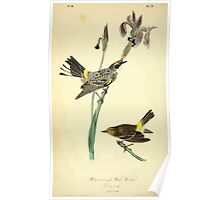 James Audubon Vector Rebuild - The Birds of America - From Drawings Made in the United States and Their Territories V 1-7 1840 - Yellow Crowned Wood Warbler Poster