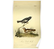James Audubon Vector Rebuild - The Birds of America - From Drawings Made in the United States and Their Territories V 1-7 1840 - Prarie Lark Finch Poster