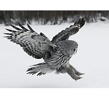 Great Grey owl hunting Photographic Print