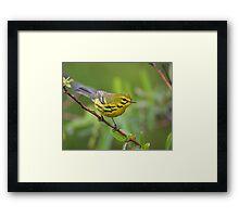 Prairie Warbler Portrait Framed Print