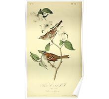 James Audubon Vector Rebuild - The Birds of America - From Drawings Made in the United States and Their Territories V 1-7 1840 - White Throated Finch Poster