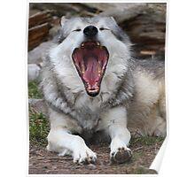 Wolf Yawning Poster