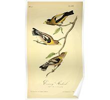 James Audubon Vector Rebuild - The Birds of America - From Drawings Made in the United States and Their Territories V 1-7 1840 - Evening Grosbeak Poster
