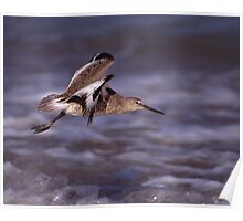 Willet in Flight Poster