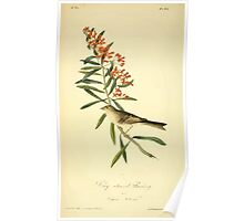 James Audubon Vector Rebuild - The Birds of America - From Drawings Made in the United States and Their Territories V 1-7 1840 - Clay Coloured Bunting Poster