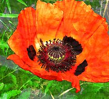 Mohn by Gunter Wenzel