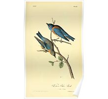 James Audubon Vector Rebuild - The Birds of America - From Drawings Made in the United States and Their Territories V 1-7 1840 - Western Blue Bird Poster