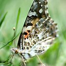 Painted Lady Butterfly by SKNickel
