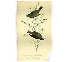 James Audubon Vector Rebuild - The Birds of America - From Drawings Made in the United States and Their Territories V 1-7 1840 - Orange Crowned Swamp Warbler Poster