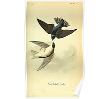 James Audubon Vector Rebuild - The Birds of America - From Drawings Made in the United States and Their Territories V 1-7 1840 - White Bellied Swallow Poster