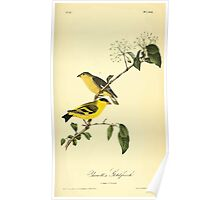 James Audubon Vector Rebuild - The Birds of America - From Drawings Made in the United States and Their Territories V 1-7 1840 - Yarrell's Goldfinch Poster