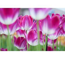 Spring Celebration. Tulips of Keukenhof Photographic Print