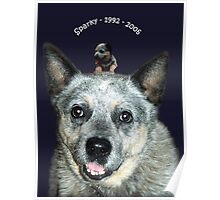 My Australian Cattle Dog Sparky at 8 weeks, then 14 years Poster